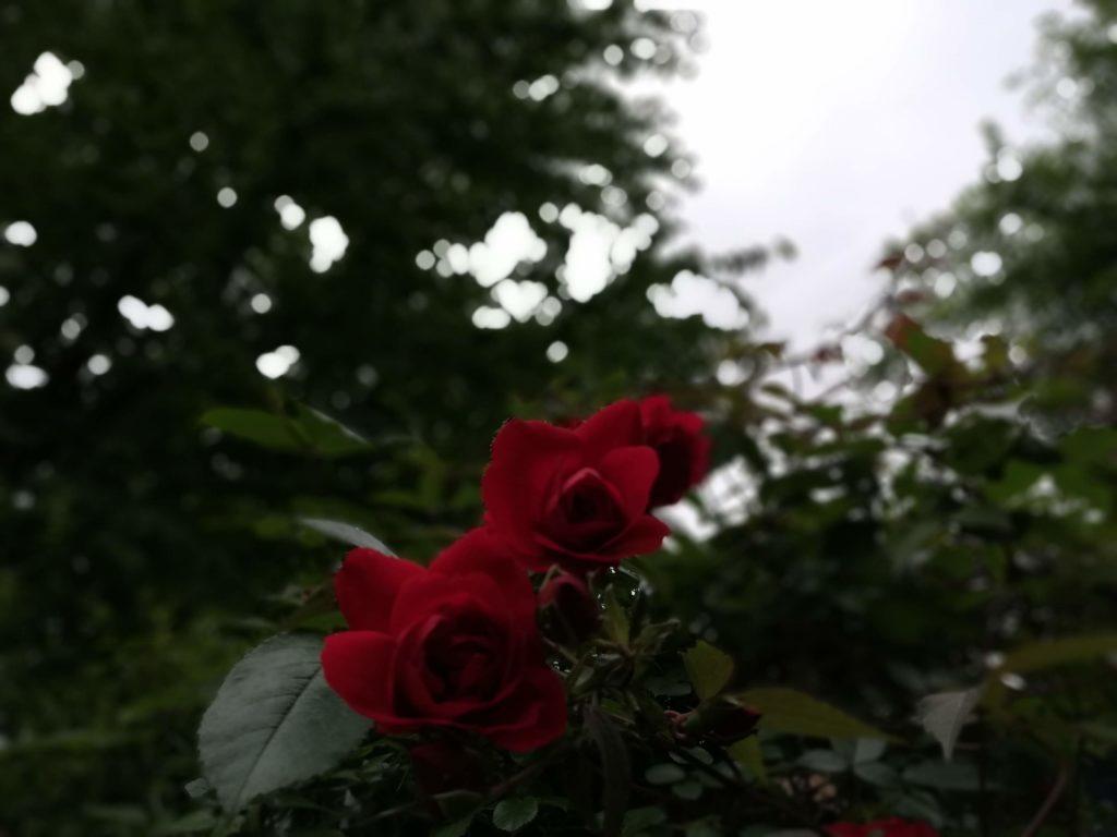 曇りと赤いバラ