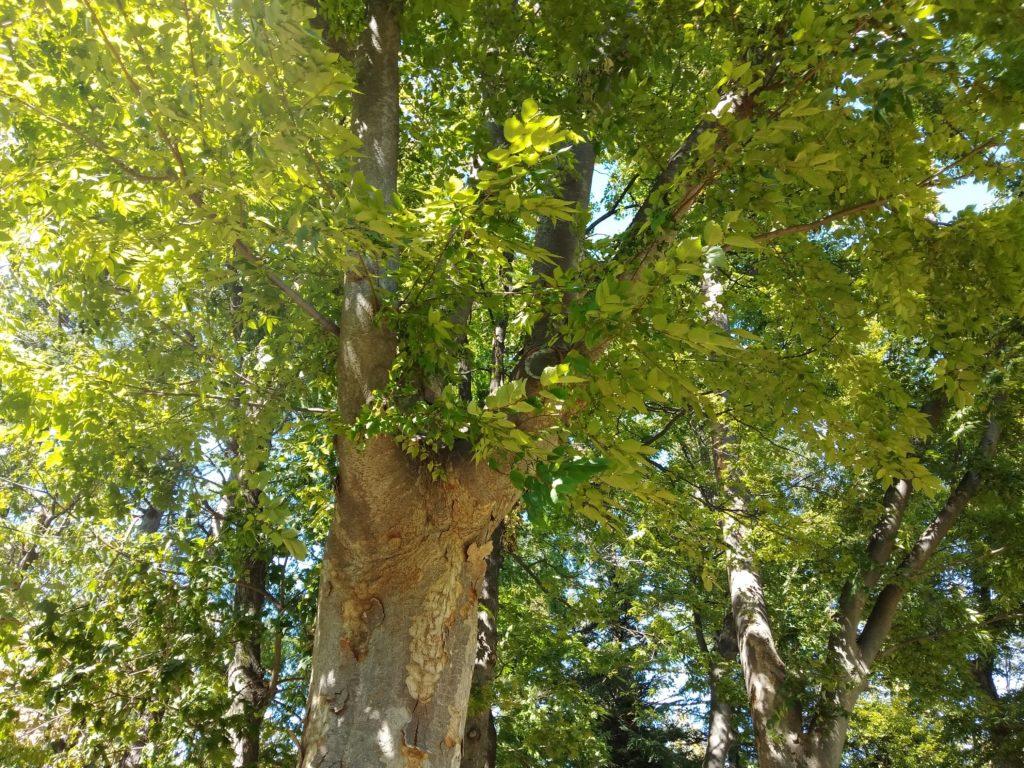 R15 Neo 公園の木の緑