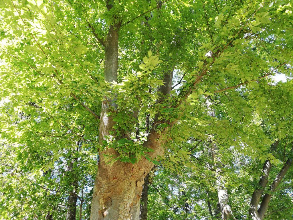 P20 lite 公園の木の緑