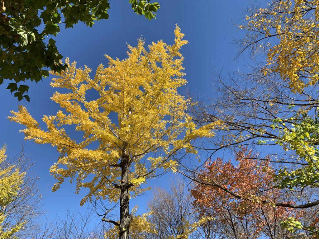 黄色い葉(iPhone XR)