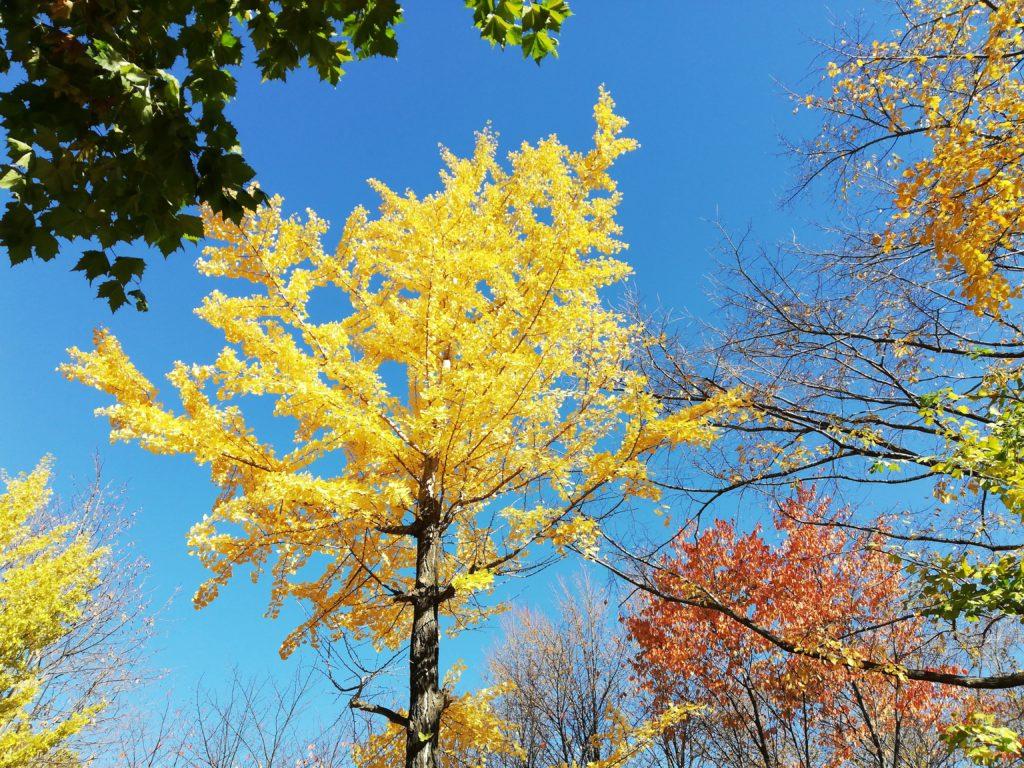 黄色い葉(P20 lite)